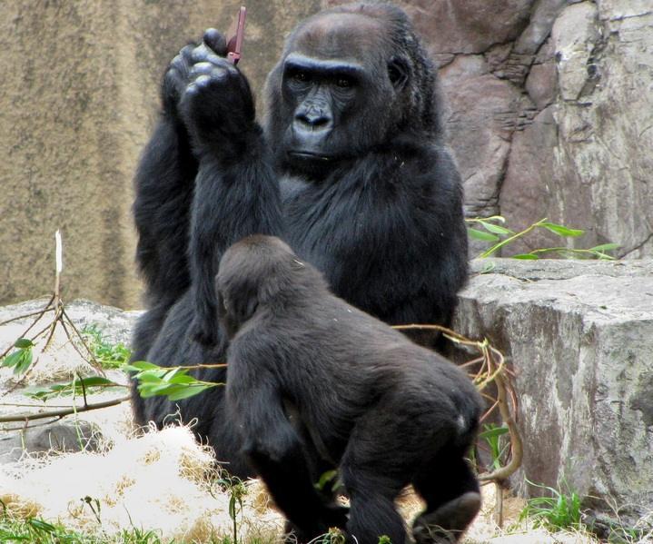 Young Boy Drops His Game Into The Gorilla Cage At San Fran